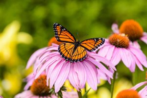 Viceroy Butterfly vs Monarch: How to Tell the Difference – Birds and Blooms