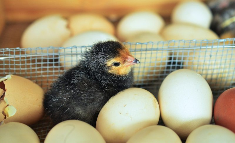 Chicks picture