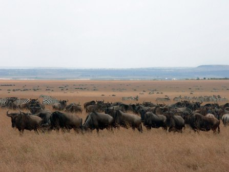gnus_and_zebras_dream-of-africa_tours_safari_tanzania_grat-migrations