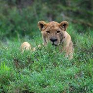 lion_in_grass_dream-of-africa_tours_safari_tanzania