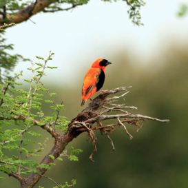small_red_bird_dream-of-africa_tours_safari_bridwatching_tanzania