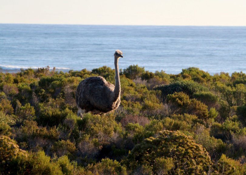 This female ostrich has clocked some nearby tourists – and soon starts to flee. (Christian Selz/dpa Photo)
