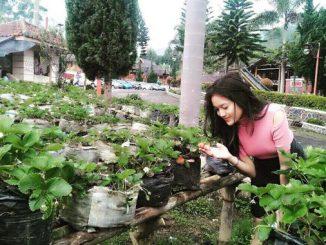 Tempat Wisata Bandung Kebun strawberry Ciwidey