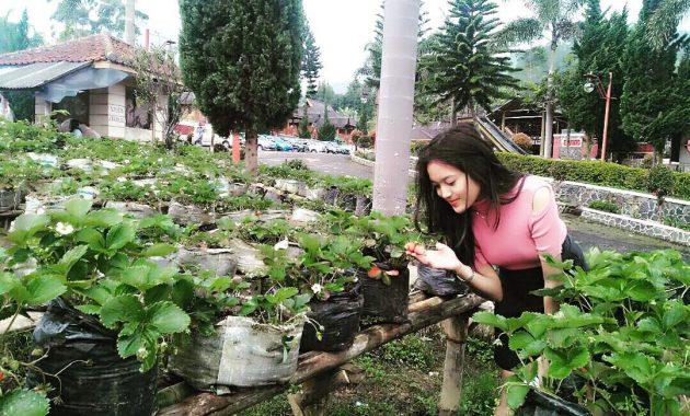 Kebun strawberry Ciwidey Bandung