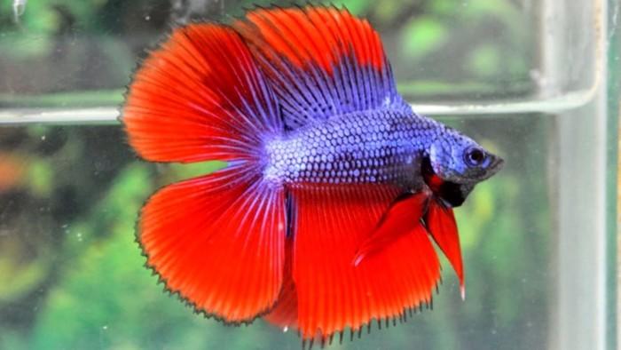 Ikan Cupang Hias Double Tail