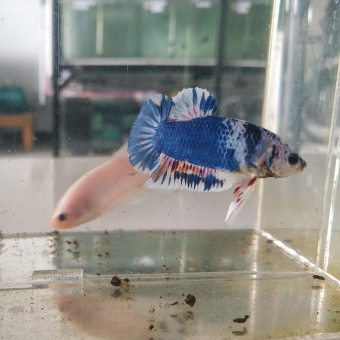 Ikan Cupang Hias Giant