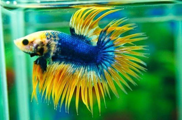 Ikan Cupang Hias Serit