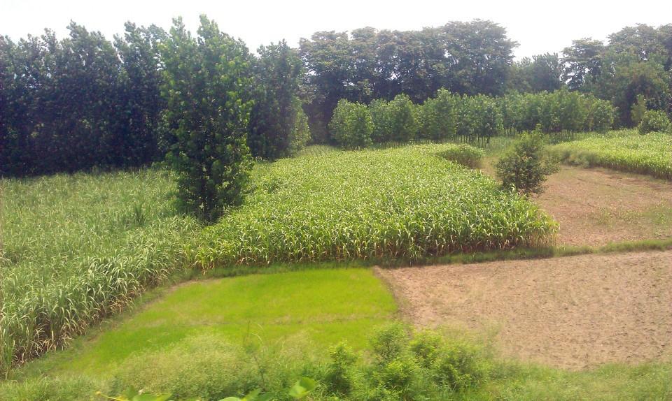 poplar1(1)