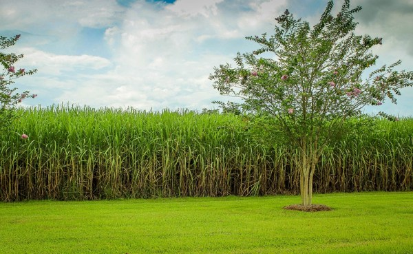 Amazing Health Benefits of Sugar Cane Juice You Should Know About
