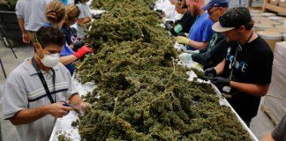Colton marijuana