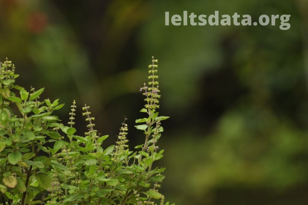 Describe a Useful Plant You Know About IELTS cue cards