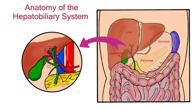 Anatomy of the hepatobiliary system