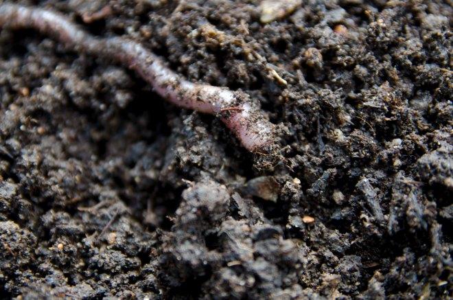 Har du disse i jorden, bør du prise deg lykkelig. Meitemarkene bearbeider jorden og gjør den luftig, og et stort antall av disse tyder på god jord. Vi har mange - jippi!