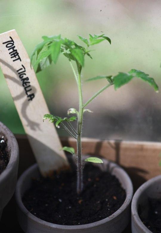 Dyrke tomater
