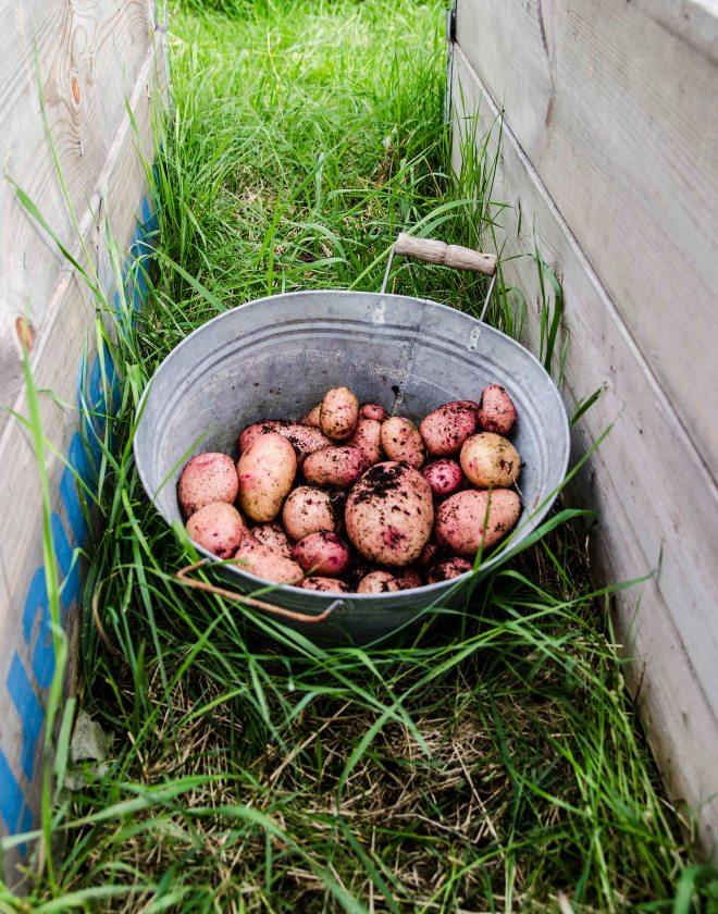 poteter_dyrking