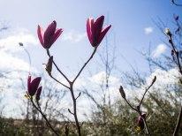 Magnolia er selvfølgelig ingen utfordring i varme Skåne.