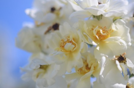 honningrose4