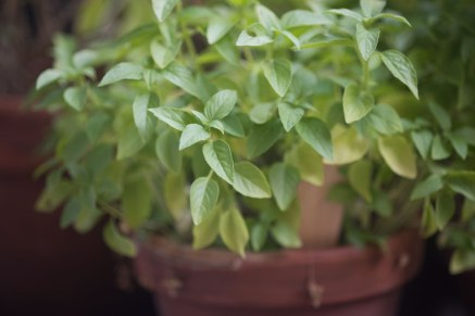 Sitronbasilikum trengs også i thailandsk matlaging og er heller ingen stamgjest selv i velassorterte butikker. Lurt å dyrke selv!