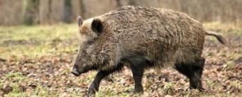الخنزير -ifarasha