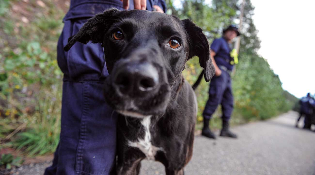 Canine at work in a fire/disaster scenario where fire fighters, USAR and canines come together to succeed.