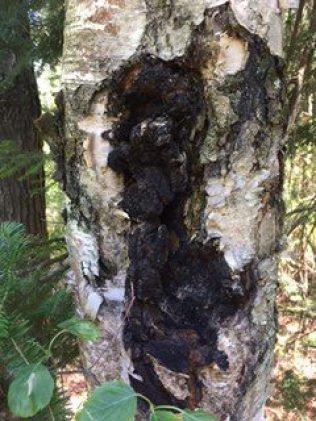 Chaga Mushroom to Make Chaga Tea