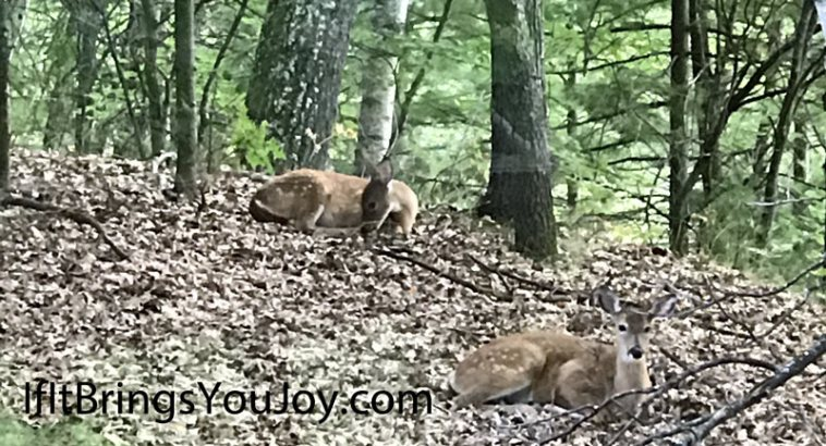 Twin fawns taking a rest in the forest. Nature is sweet!