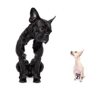 a big french bulldog and small tiny chihuahua dog looking at each other, feelings involved, isolated on white background