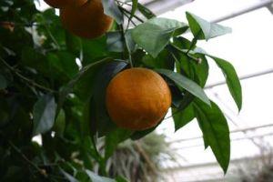 Citrus bergamia,佛手柑