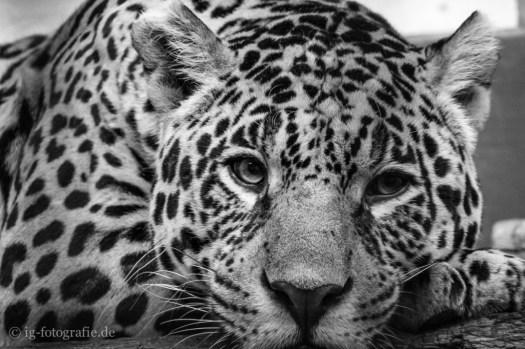 zoo berlin: sad eyes of a leopard