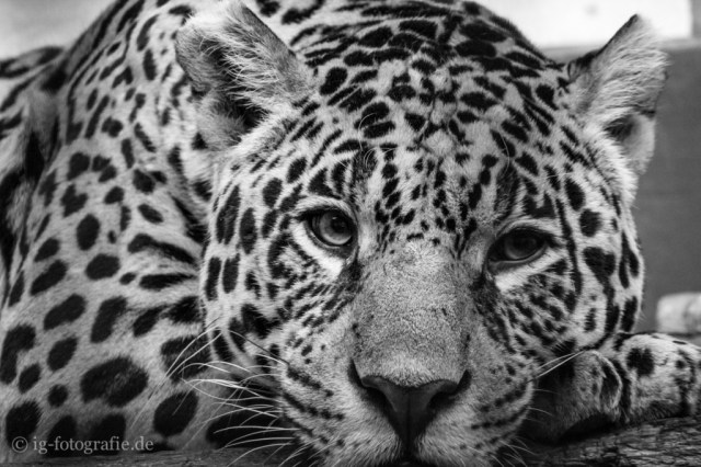 zoo berlin: sad eyes of a leopard
