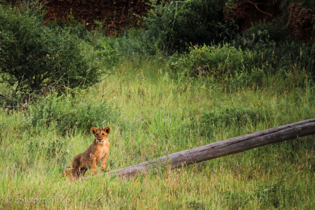 Fotosafari in Kenia: Löwen auf Entdeckungstour