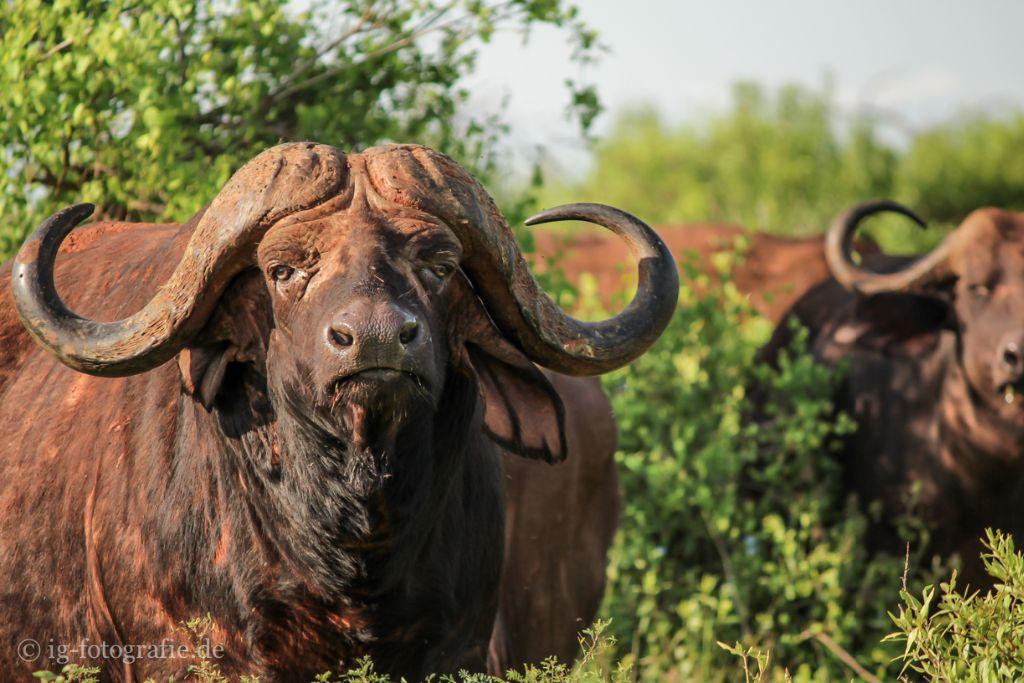 Afrikanischer Büffel - Fotosafari - Kenia - Afrika