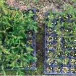 ファインバブル水による針葉樹苗木の生育促進技術
