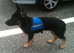 Picture of guide dog Dynamo