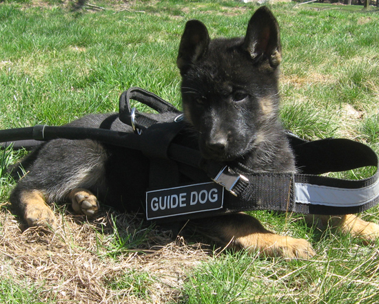 A picture of a guide dog.