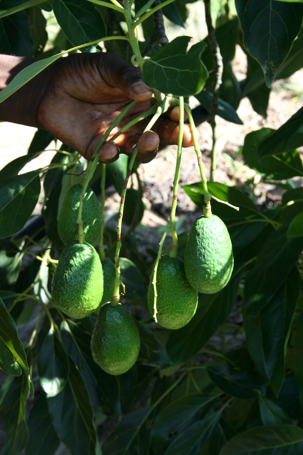 Mr. Nzonzo's first avocados. (Photo: C. Hincks/CJI)