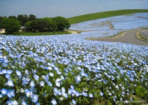 Hitachi Seaside Park: un tripudio di fiori