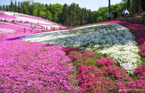 Shibazakura festival al parco Hitsujiyama, Seibu Chichibu (Giappone)