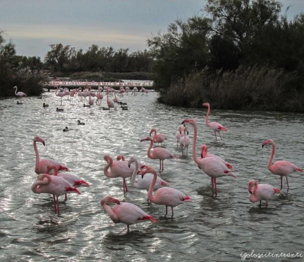 Fenicotteri rosa al Parco Ornitologico di Pont de Gau