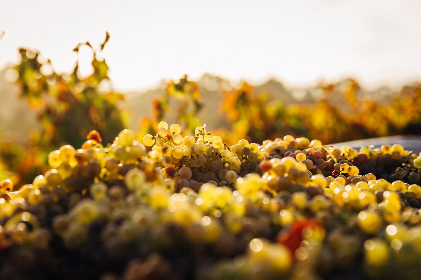 Dal Tocai al Friulano: il vino bandiera del Friuli-Venezia Giulia