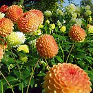 Orange Dahlias by spaulfam