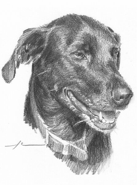 Black Lab Drawing By Mike Theuer Redbubble