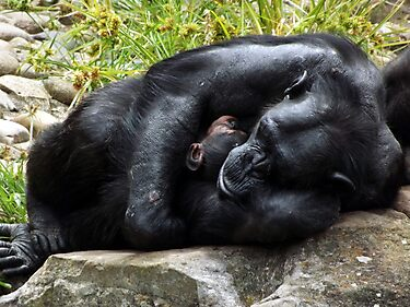 chimpanzee mother baby