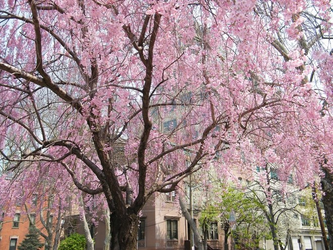 A tree with low-hanging branches covered in pink flowers instead of leaves, on a tree-lined street.