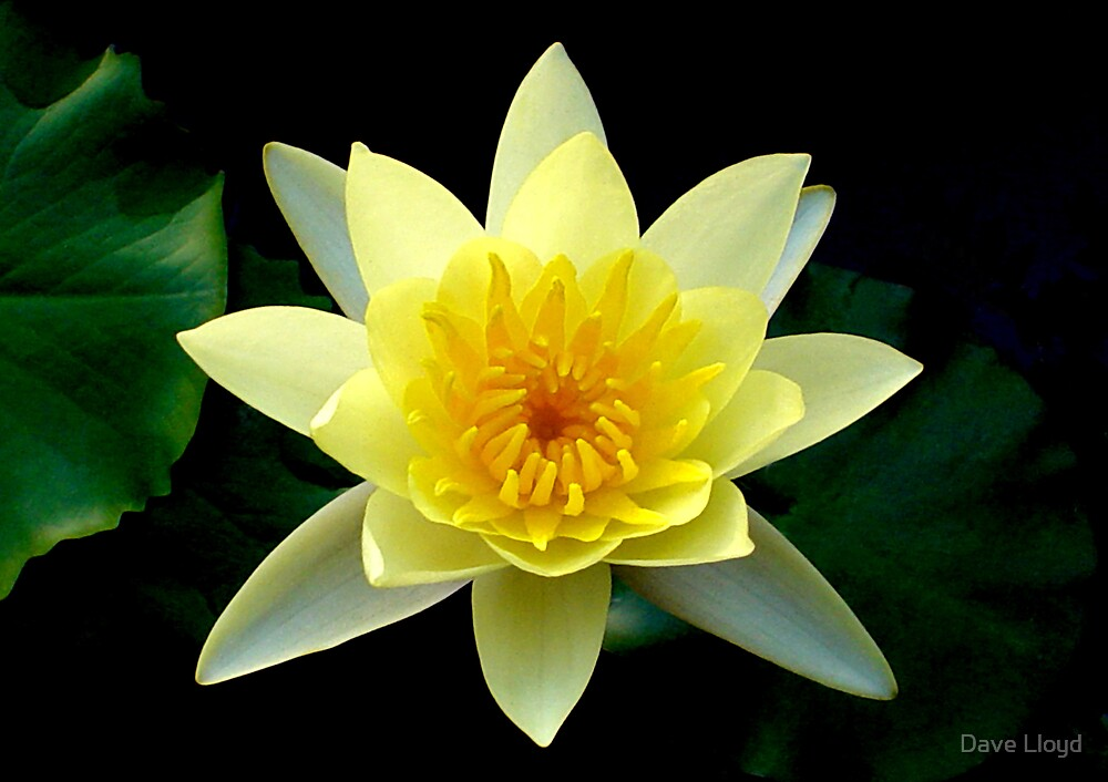 Yellow Lotus By Dave Lloyd Redbubble