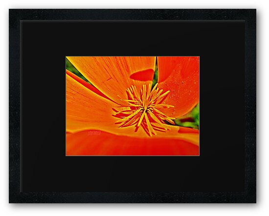 Orange Poppy Star by 32DARTS