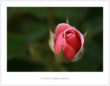 Laminated Print: Pink Borne