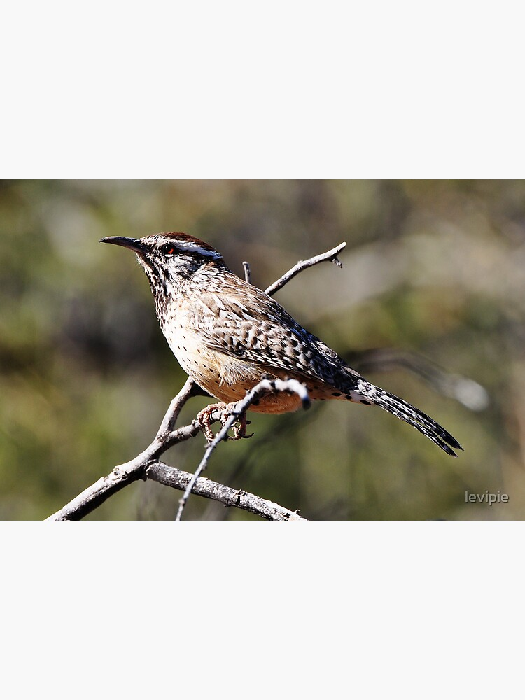 Arizona State Bird Postcard By Levipie Redbubble