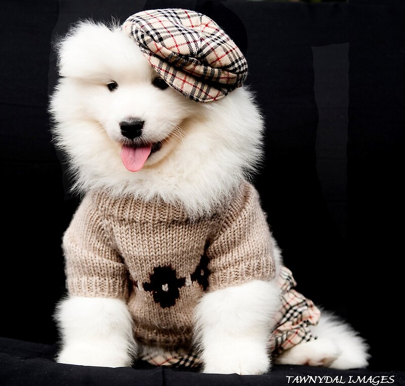 Quot Samoyed Puppy Quot By Tawnydal Redbubble