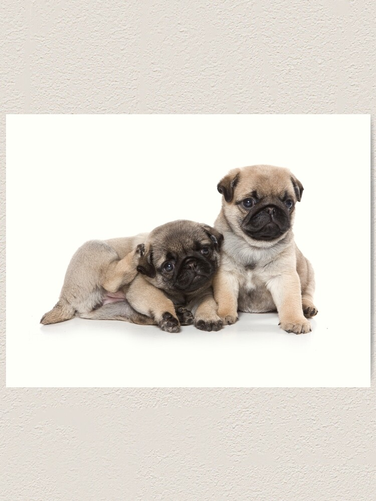 Funny Cute Pug Puppies Art Print By Utekhina Redbubble